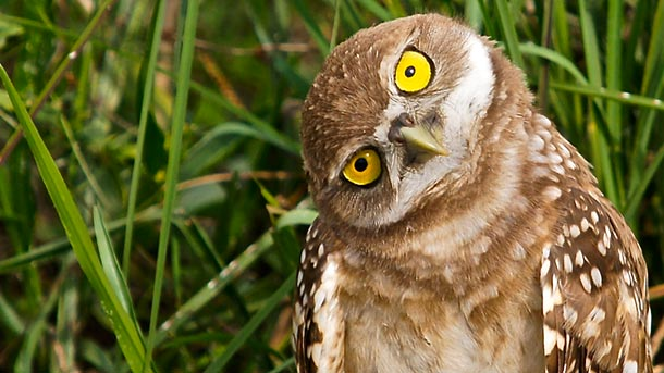 MRblog-promo-owls-turn-heads-burrowing_64033_610x343